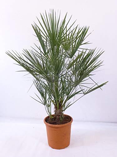 [Palmenlager] - Chamaerops humilis - Zwergpalme - 90 cm // -12°C Frost - Indoor u. Outdoorpalme