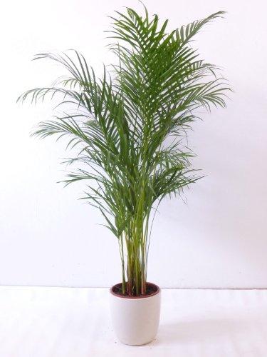 Goldfruchtpalme 130-150cm Chrysalidocarpus lutescens - 'Areca Palme' / Zimmerpalme