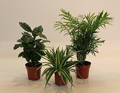 Dominik Blumen und Pflanzen, Indoor-Trio - Kaffee-Pflanze Coffea arabica, Grünlilie Chlorophytum comosum und Zimmerpalme Chamaedorea, Zimmerpflanzen,...