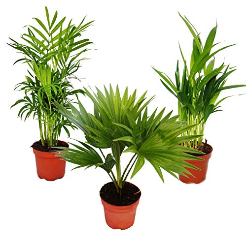 Exotenherz - Zimmerpalmen - 3er Set - Bergpalme (Chamaedorea) - Fächerpalme (Livistona) - Areca (Goldfruch-Palme)