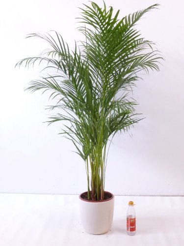 Goldfruchtpalme 140 cm Chrysalidocarpus lutescens - 'Areca Palme' / Zimmerpalme